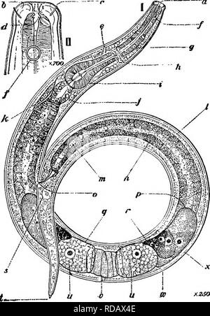 . Fresh-water biology. Freshwater biology. Labial papillae, apparently 12. Onchus thumb- shaped, forward pointing, attached to a distinctly thickened rib of cuticula which extends from the lip region back to the base of the pharynx, and is thicker anteriorly than posteriorly. Fully developed ova are nearly twice as long as the body is wide, and one-third as wide as long. Form, size, and number of eggs un- known. Habitat: Spring, Washington Country Club, Chevy Chase, Md. Fig. 790. Ethmolaimus americanus. Lateral view of a female, a, lips; b, minute dorsal and ventral pharyngeal teeth; c, one of - Stock Photo