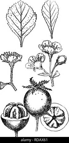 . Gray's new manual of botany. A handbook of the flowering plants and ferns of the central and northeastern United States and adjacent Canada. Botany. EOSACEAB (rose FAMILY) 467 10 stamens, pink anthers, and pyriform yellow-green fruit. ill s. Va. It should be sought §7. PARVIFOLIAE Loud. (Uniflorae Beadle.) Leaves rather small, apatu- late, obovate, or oval, obtuse, rounded, or acute at the apex, cuneate at the base, cretiate, crenate-dentate, or serrate, subcoriaceous, shining above, very pubescent lohen young, becoming scabrate above when mature; petioles very short, pubescent, winged; cor - Stock Photo