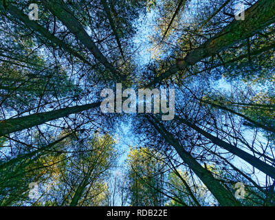 Looking up tall thin fir tree trunks to the pale blue winter sky. - Stock Photo
