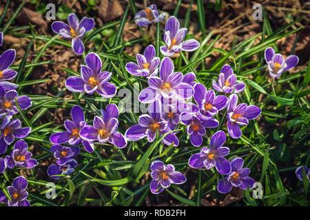 Blooming purple crocus, bumblebee, first spring flowers primrose. Spring botanical Background - Stock Photo