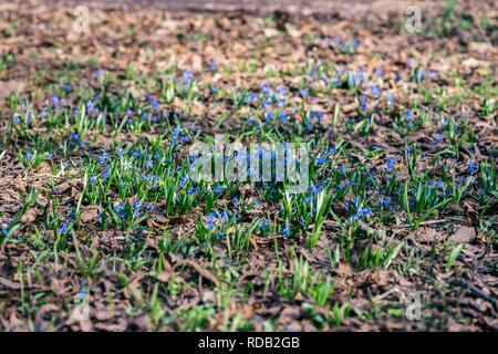 Forest glade with bright blue primroses in last year's foliage. Concept of the first spring plants, seasons, weather - Stock Photo