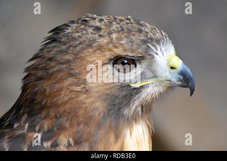 red-tailed hawk, Rotschwanzbussard, vörösfarkú ölyv, Buteo jamaicensis - Stock Photo