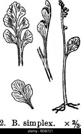 . Gray's new manual of botany. A handbook of the flowering plants and ferns of the central and northeastern United States and adjacent Canada. Botany. 48 OPHIOGLOSSACEAE (ADDEu's TONGUE FAMILY) distinct, rather coriaceous, not reticulated, globular, without a ring, and open- ing transversely into two valves. Sterile segment of the frond ternately or pinnately divided or compound ; veins all free. Spores copious, sulphur-color. (Name a diminutive of fiSrpvs, a cluster of grapes, from the appearance of the fructification.) § 1. EUBOTRYCHIUM Milde. Base of the stalk (^containing the bud) complete - Stock Photo