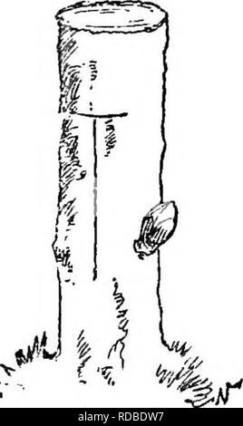 . Trees and tree planting. Trees; Tree planting. PEOPAGATION OF TKEES. 219 below the bud, and a cut run to the depth of the bark upward, and curved to about one half inch above it, as shown in the figure on preceding page. This slice, with a thin layer of sap-wood adhering, is then carefuUy de- tached from the tree, when the bud will be ready for transfer to the stock. The stock, which should not ex- ceed an inch in diameter, whether as seedhng or branch, is previously prepared for the reception of the bud by making a cut downward and across it to the depth of the bark, and of an inch or so in - Stock Photo