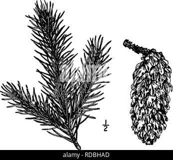 . North American trees : being descriptions and illustrations of the trees growing independently of cultivation in North America, north of Mexico and the West Indies . Trees. 6o The Spruces so, light red. The cones, which are abundantly produced, are elliptical, 3 to 7 cm. long, light green with a reddish tinge when young, light brown and shining when ripe, falling off soon after the seeds have dropped out; their scales are subrhomboid, thin and firm, somewhat concave, usually broadest near the middle and irregularly toothed at the apex; the bracts are truncate or pointed, 4 to 6 mm. long. See - Stock Photo