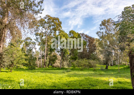 Eucalyptus trees on a sunny green lawn under a blue sky with clouds. Landscape - Stock Photo