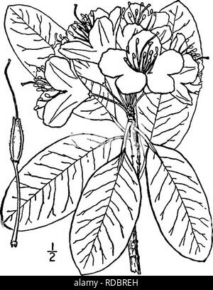 . North American trees : being descriptions and illustrations of the trees growing independently of cultivation in North America, north of Mexico and the West Indies . Trees. Fig. 688. — Mountain Rose Bay. 2. MOUNTAIN ROSE BAY Rhododendron catawbiense Michaux This evergreen shrub, sometimes be- comes a small tree, and is also called Catawba Rhododendron and Carolina Rho- dodendron. It occurs mostly on moun- tain sides and summits, from Virginia and West Virginia to Georgia and Alabama, attaining a maximum height of 6 meters, with a trunk diameter of i dm. The trunk is short, crooked, and much  - Stock Photo
