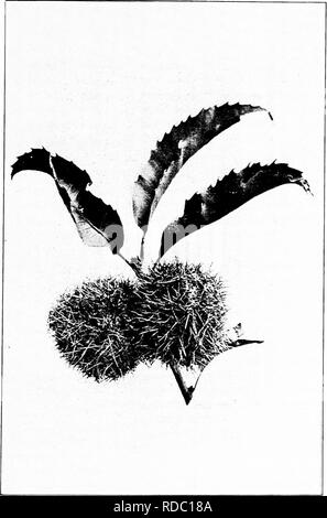 . Our native trees and how to identify them : a popular study of their habits and their peculiarities . Trees. CHESTNUT. Chestnut Burs.. Please note that these images are extracted from scanned page images that may have been digitally enhanced for readability - coloration and appearance of these illustrations may not perfectly resemble the original work.. Keeler, Harriet L. (Harriet Louise), 1846-1921. New York : C. Scribner's Sons - Stock Photo