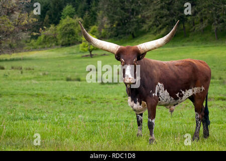 Ankole Watusi Longhorn cow in green pasture facing camera - Stock Photo