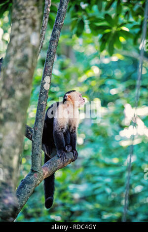 cute spider monkey animal in wildlife outdoor sitting on tree branch with green leaves looking away on natural background in Roatan, Honduras - Stock Photo