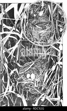 . Nature's carol singers. Birds. SEDGE WARBLER'S NEST WITH CUCKOO'S EGG IN IT. K SEDGE WARBLER ON NEST.. Please note that these images are extracted from scanned page images that may have been digitally enhanced for readability - coloration and appearance of these illustrations may not perfectly resemble the original work.. Kearton, Richard, 1862-1928; Kearton, Cherry, 1871-1940, illus. London, New York [etc. ] Cassell and Co. , Ltd. - Stock Photo