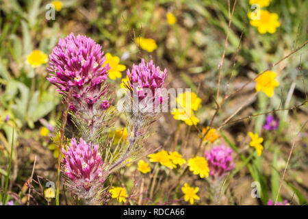 Owl's clover (Castilleja exserta) blooming among Goldfield flowers, California - Stock Photo