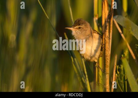 Great Reed-Warbler / Acrocephalus arundinaceus - Stock Photo