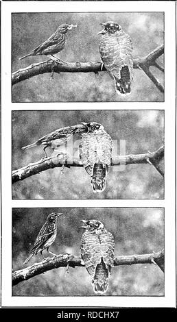 . Nature's carol singers. Birds. A STORY IN THREE CHAPTERS: A YOUNG CUCKOO AND HIS TREE PIPIT FOSTER-MOTHER.. Please note that these images are extracted from scanned page images that may have been digitally enhanced for readability - coloration and appearance of these illustrations may not perfectly resemble the original work.. Kearton, Richard, 1862-1928; Kearton, Cherry, 1871-1940, illus. London, New York [etc. ] Cassell and Co. , Ltd. - Stock Photo