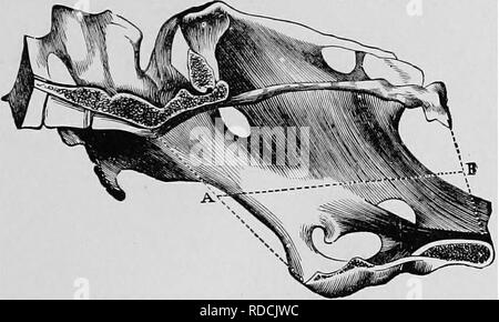 . Veterinary obstetrics; a compendium for the use of students and practitioners. Veterinary obstetrics. ANATOMY. 15: sacrum and first two or three coccygeal vertebrae; inferiorly, to the superior ischiatic spine and tuberosity of the ischium. The Mare's pelvis represents a somewhat cone- shaped cavity at the posterior part of the trunk, continuing the abdominal cavity. It has an internal, and an external surface, and two openings. The anterior opening is termed the inlet of the^ pelvis, by which the foetus enters the pelvic cavity. The posterior is known as the outlet or recto-urethral; openin - Stock Photo