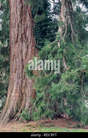 Sequoiadendron giganteum - Giant Redwood - Giant Sequoia at  Westonbirt, The National Arboretum, Gloucestershire, England - Stock Photo
