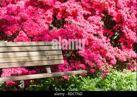 A wooden bench sits next for a full blooming pink rhododendron Shrub in a park - Stock Photo