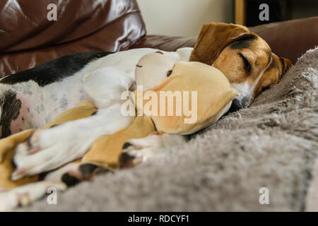 My very affectionate Beagle cross sleeping with her favourite teddy bear. - Stock Photo