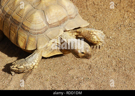 close-up of a tortoise on a sandy ground in sunlight