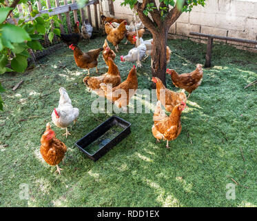 Chickens in a pen on a background of green freshly mown grass. - Stock Photo