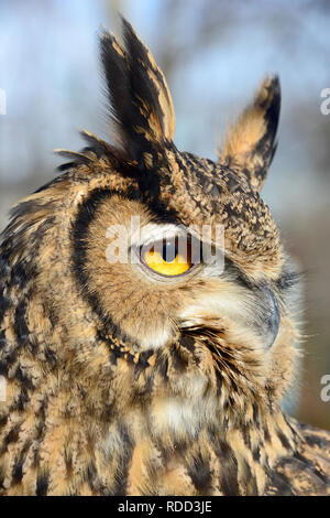 Eurasian eagle-owl, European eagle-owl, uhu, Bubo bubo - Stock Photo
