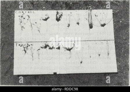 """. The Effects of disturbance on desert soils, vegetation, and community processes with emphasis on off-road vehicles : a critical review. Desert ecology; All terrain vehicles. Figure 6.9 a. b. c. Comparison of annual plants on May 9, 1978 in the control (upper row) and in tracks (lower row) created by 20 passes of a Ford """"Bronco"""" at site 1 on Aug. 19, 1977. Chaenactis (left) and Erodium (center) were similar in size on control and tracked areas but Platystemon collected from within tracked areas (right) had large reductions in both root and shoot growth. Closeup of Platystemon from t - Stock Photo"""