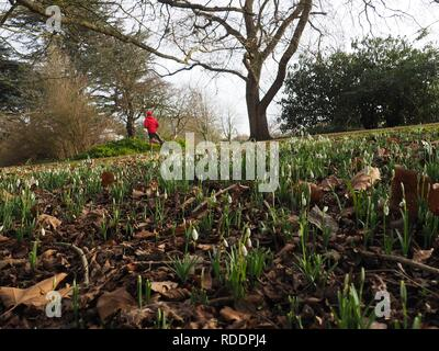 Oxford, UK. 18th January 2019. UK Weather: Snowdrops on a sunny winter's day in Oxford University Parks. Credit: Angela Swann/Alamy Live News - Stock Photo
