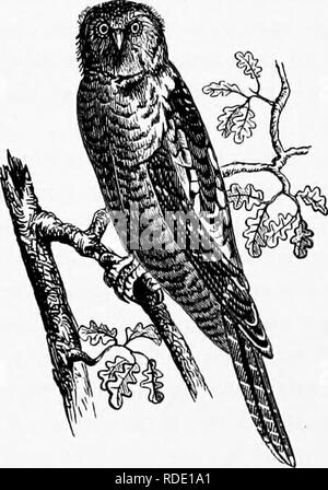 . Our own birds; a familiar natural history of the birds of the United States. Birds. 184 INSESSORES. representing there the Duck Hawk of America, ap- pears to have been the favorite Hawk among the fal- coners of the olden time. In the early part of Euro- pean history mention is frequently made of the sport of hawking, and it was then considered as a recrea- tion of such a dignified character, that it was placed by laws beyond the power of any but the nobility to engage in it. The various nobles vied with each other in the superiority and numbers of their Falcons, and the life of a serf is sai - Stock Photo