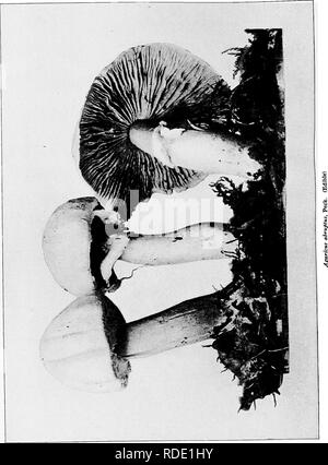 . The mushroom book. A popular guide to the identification and study of our commoner Fungi, with special emphasis on the edible varieties. Mushrooms; Cookery (Mushrooms); cbk. . Please note that these images are extracted from scanned page images that may have been digitally enhanced for readability - coloration and appearance of these illustrations may not perfectly resemble the original work.. Marshall, Nina L. (Nina Lovering). New York, Doubleday, Page & Co. - Stock Photo
