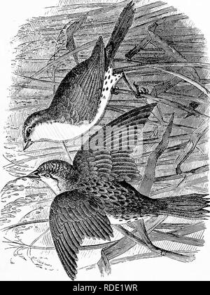 . Our own birds; a familiar natural history of the birds of the United States. Birds. . Please note that these images are extracted from scanned page images that may have been digitally enhanced for readability - coloration and appearance of these illustrations may not perfectly resemble the original work.. Baily, William L; Cope, E. D. (Edward Drinker), 1840-1897. Philadelphia, J. B. Lippincott & Co. - Stock Photo