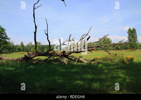 Morscher, abgestorbener Baum auf einer Wiese in den Sand Dünen von Sandweier, Baden-Baden - Stock Photo