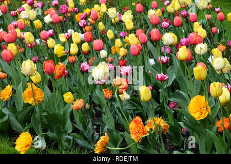 Many colorful gentle tulips in the garden in sunny spring day in green grass closeup view - Stock Photo