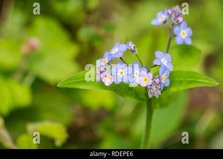 Forget-me-not (Myosotis sylvatica) wildlflowers blooming in the forests of San Francisco bay, California - Stock Photo