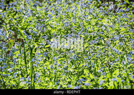 Meadow covered with Forget-me-not (Myosotis sylvatica) wildflowers, San Francisco bay area, California - Stock Photo