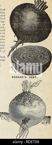 . E. H. Hunt : seedsman. Nurseries (Horticulture) Illinois Chicago Catalogs; Bulbs (Plants) Catalogs; Flowers Catalogs; Vegetables Seeds Catalogs; Plants, Ornamental Catalogs. YELLOW GLOBE MANGEL, MANGEL WURZEL AND SUGAR BEETS. The following varieties are extensively grown for feeding stock. As they grow much lar- ger than the varieties cultivated for table use, tliey require more room, and should be sown in drills about two feet apart. The seeds sliould be dropped about two inches apart in the drills, and when strong enough, thinned out to twelve or fifteen inches in the row. The long varieti - Stock Photo