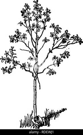 . The American fruit culturist, containing directions for the propagation and culture of all fruits adapted to the United States. Fruit-culture. Fig. 156.—Trimmed Quince. Fig. 157.—Young Quince, ft jm which a good tree may bo formed. wounds made in winter are apt to form gum, and the removal of much foliage in summer injures the tree by checking its growth, the rubbing and pinching process should be exclu- sively resorted to, in forming an even and well-distributed head, nearly in the same manner as already described for the apple. The only care, as the trees become older, is to see that no sh - Stock Photo