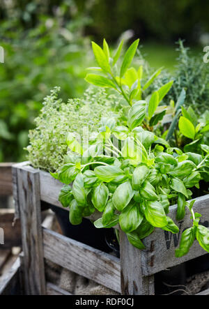 Assorted fresh herbs growing in pots in a rustic wooden crate outdoors in the garden for use in cooking or alternative medicine, basil in the foregrou - Stock Photo