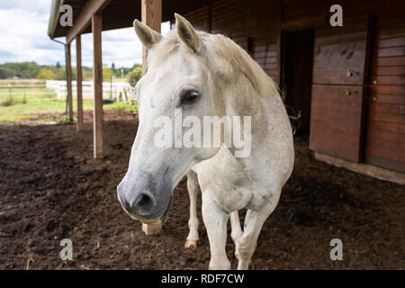 One curious white dapple quarter horse curiously approaches outside by the open barn. Sunny summer day in rural Pennsylvania countryside farmland. - Stock Photo