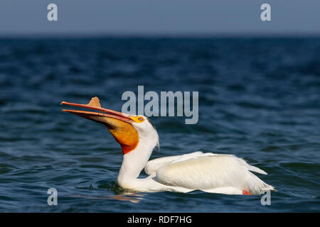 White American pelican(Pelecanus erythrorhynchos)  after hunting, swallowing fish in the Great Lake Michigan - Stock Photo