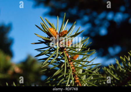 A macro of the end of a spruce branch, in a garden - Stock Photo