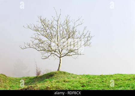 A walnut without leaves in winter isolated by the fog. - Stock Photo
