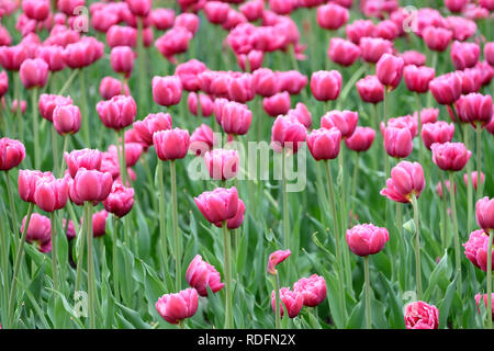 Many beautiful gentle pink with white tulips blossom with green stems and leaves on the meadow in spring day closeup horizontal view - Stock Photo
