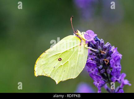 Underside of Brimstone butterfly Gonepteryx  rhamni  taking nectar from a flower head in the English summer UK - Stock Photo