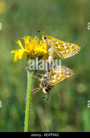 Mating pair of two Silver Spotted Skipper butterflies Hesperia comma seen here on Watlington Hill in the Chiltern hills Oxfordshire England UK - Stock Photo