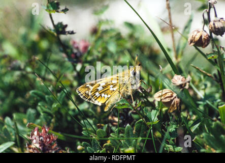 Silver Spotted Skipper butterfly Hesperia comma on Watlington Hill in Oxfordshire England UK - Stock Photo