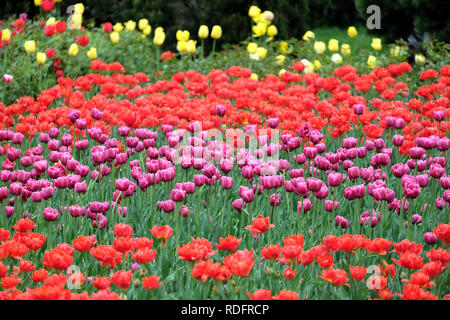 Many colorful gentle tulips in the garden in sunny spring day closeup view - Stock Photo