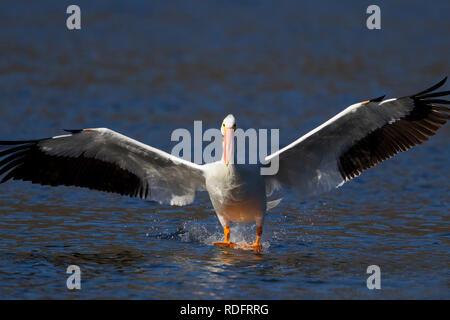 American White Pelican Landing on Water - Stock Photo