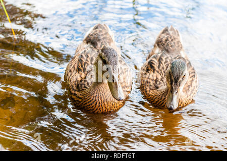 Group of young brown ducks, ducklings swimming together in lake near the coast, feeding time. Water birds species in the waterfowl family Anatidae. - Stock Photo