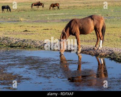 Wild Mustang horses in the northern Nevada Desert. - Stock Photo