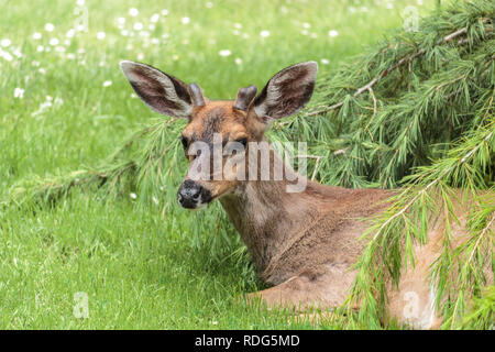 A two year-old male Blacktail deer with developing antlers lies on a  lawn in springtime, looking towards the camera, watchful but relaxed. - Stock Photo